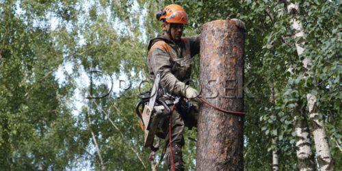 валка большого деревьев